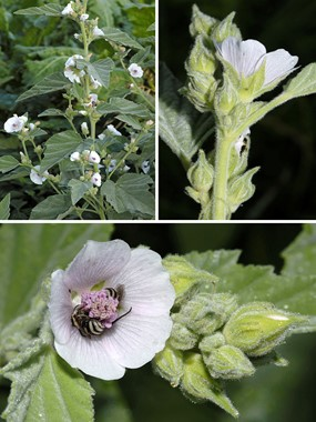 Althaea officinalis L. Altea comune, Bismalva