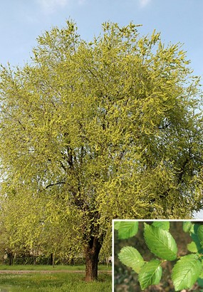 Ulmus minor Mill. subsp. minor - Olmo comune